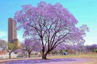 JACARANDA BOOM | Zuid-Afrika een kleurrijk land